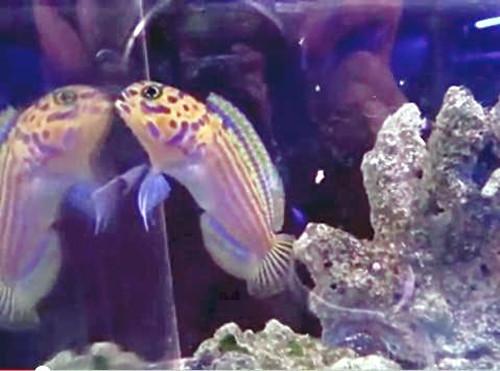 """日本水族馆展出深海""""马头鱼"""" 身带斑纹像纹身"""