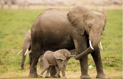 动物世界的感人瞬间:长颈鹿妈妈猛踢狮群