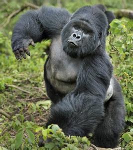 大猩猩拥有说话的认知与思维