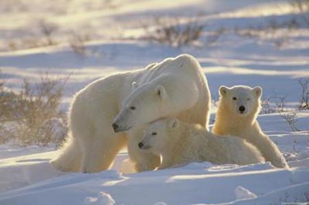 北冰洋北极熊数目大减 全球变暖熊宝宝无食可吃 图