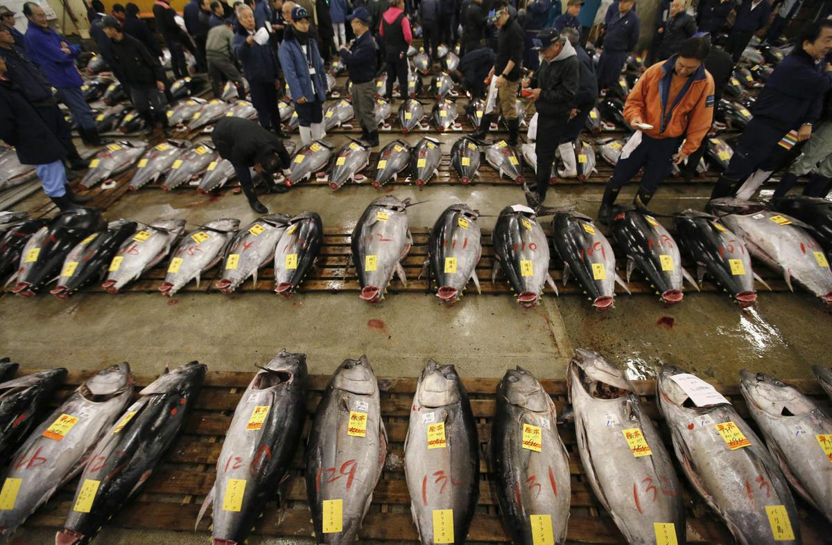 日本筑地鱼市新年开市 金枪鱼摆满市场(组图)
