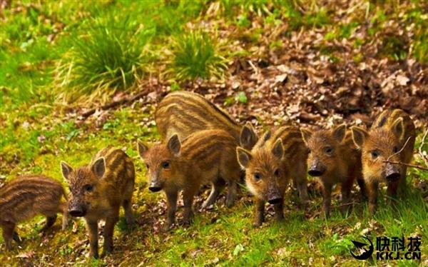 日本 福岛/还有一个更可怕的问题,受到变异后的野猪,其数量在不断增加,...