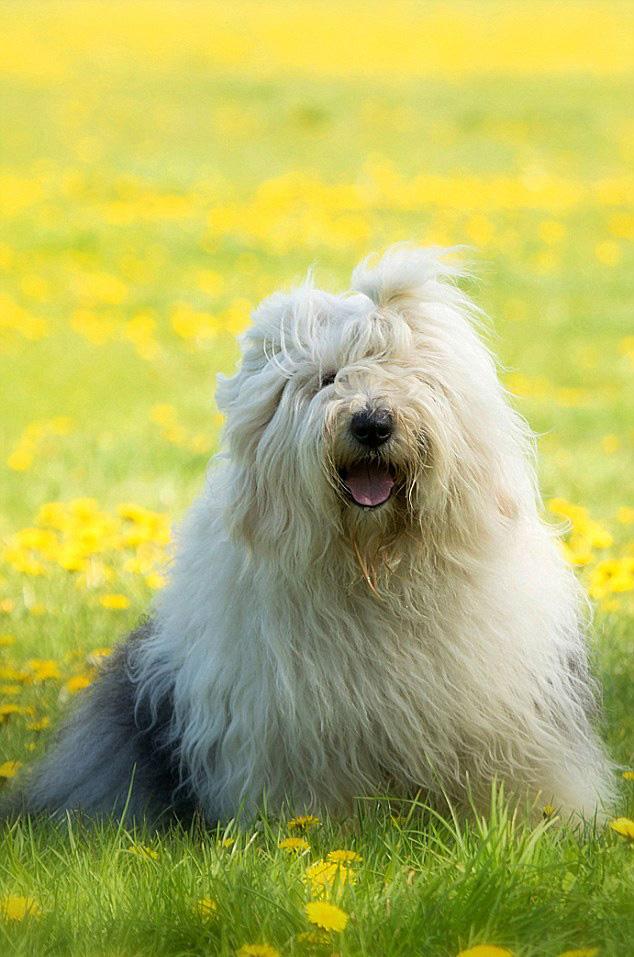 荷兰牧羊犬唯美照片 萌态可掬大受欢迎(组图)