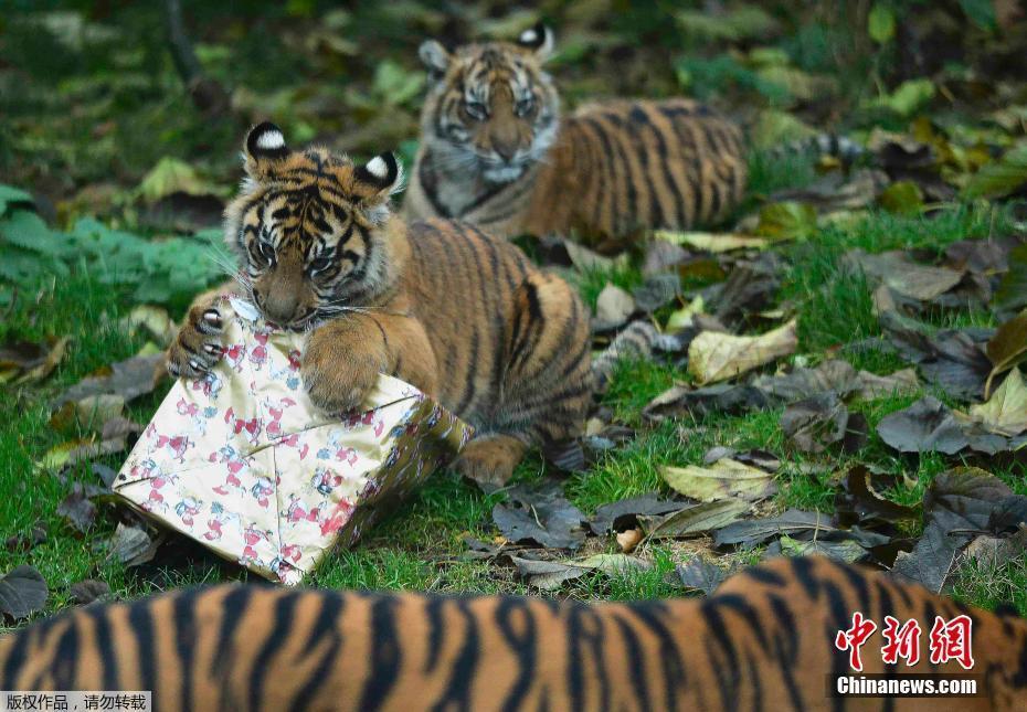 组图:伦敦动物园发放圣诞礼物