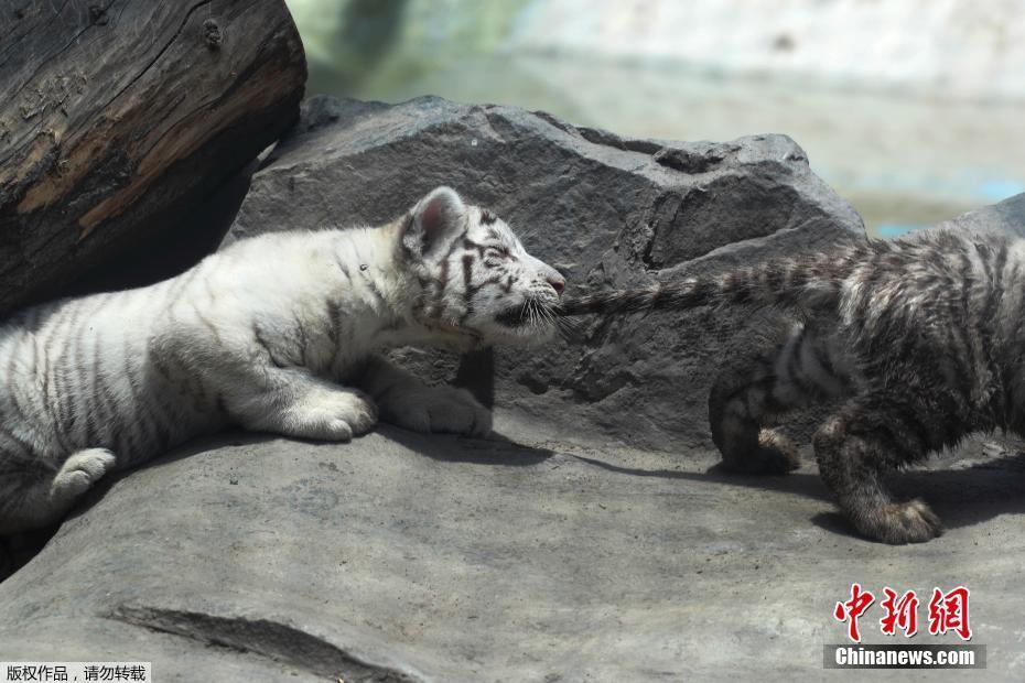 秘鲁动物园白虎宝宝疯玩撒欢 咬兄弟尾巴逗趣十足